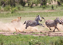 """Zebra Being Chased By Lioness"" by Jim Irwin"