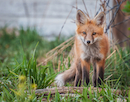 """Red fox kit standing alert"" by Dawn Wilson"