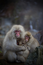 """Cold Snow Monkey Family"" by Allen Davis"