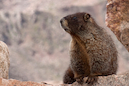 """High Mountain Pose-Marmot"" by Jon Hyde & Kimberly Sultze"