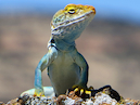 """Collared Lizard"" by Jon Hyde & Kimberly Sultze"