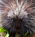 """Barbed Face Off - Porcupine"" by Jon Hyde & Kimberly Sultze"