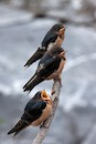 """Baby Swallows Awaiting a Feast"" by Jon Hyde and Kimberly Sultze"