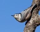 """The Acrobatic Nuthatch"" by Lea Foster"