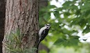 """Hairy Woodpecker"" by Anna Raleigh"