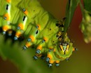 Eupackardia calleta silkmoth caterpillar by Paul Garcia