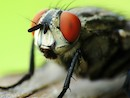 Housefly by Jennifer Perdue