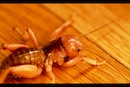 Jerusalem Cricket by Christopher Wilson