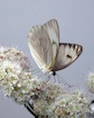 Cabbage White by Kimaya Chalpe