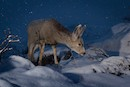 """Mule Deer in Snow"" by Bailey Russel and Jonny Armstrong"