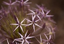 """Allium"" by Nell Werner"