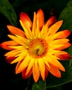 """Strawflower"" by Nora Devane"