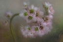 """Bergenia Cordifolia"" by Diane English"