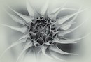"""Sunflower II"" by Dawn LeBlanc"