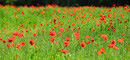 """Poppy Field"" by Paula Laverty"