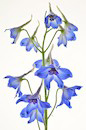 """Delphinium"" by Michael Travers"