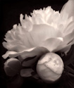"""Peony BW"" by Eric Spence"