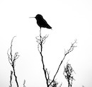 """Anna's Hummingbird Silhouette Late Afternoon"" by Jonathan Lavan"