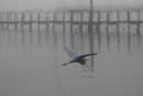 """Great White Egret in the Mist"" by Alice Le Duc"