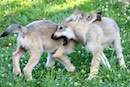 """Wolf Pups Together"" by Kathy Brady"