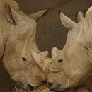 """Two Rhinos"" by Bruce Berkow"