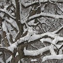 """Snowy Branches"" by Bruce Berkow"