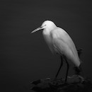 """Portrait of an Egret"" by Devin Grady"