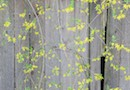 """Fence with Forsythia"" by Ethna Gillespie"