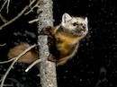 """Pine Marten"" by Bailey Russel and Jonny Armstrong"