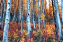 """Colorful Aspens"" by Brian Kerls"