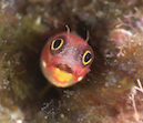 """Mexican Barnacle Blenny- Socorro Islands, MX"" by Jonathan Lavan"